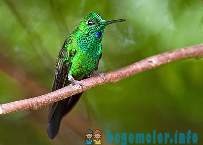 Most interesting species of hummingbirds